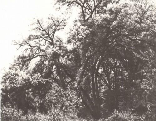 А. Иванов. Дерево в парке Киджи. Масло. 1843.