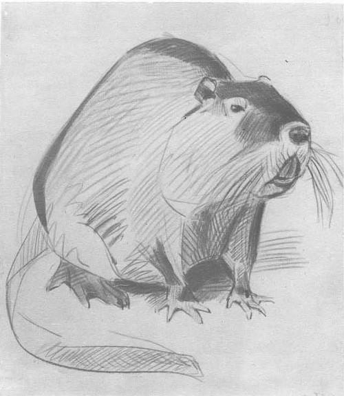 В. Ватагин. Бобер. Карандаш, акварель. 1926.