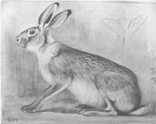 В. Ватагин. Заяц. Акварель, карандаш. 1953.