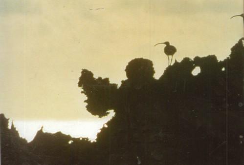 Остров Хендерсон. Кроншнепы проводят зиму на острове Хендерсон или на других островах Тихого океана. Они высиживают яйца на Аляске, а осенью отправляются в сторону юга. После отдыха на Гавайских островах летят на зимовку.