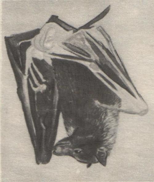 В. Муцетони. Летучая собака. Акварель. 1977.