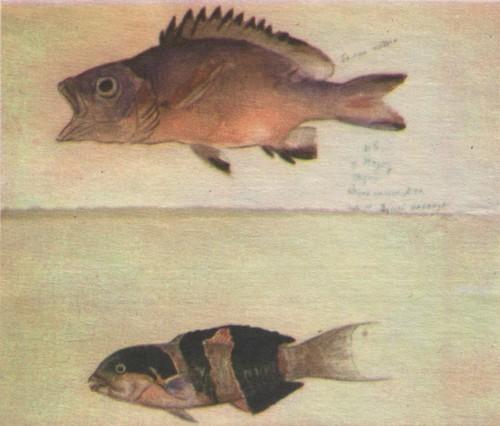 В. Муцетони. Рыбы, быстро меняющие окраску. Тихий океан. Акварель. 1971.