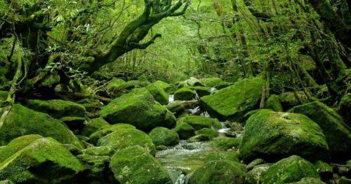 Влажный, дождливый и облачный климат средних ярусов острова Яку идеален для мхов и лишайников; они селятся на деревьях, образуя мягкие «подушки» или свисающие «космы».
