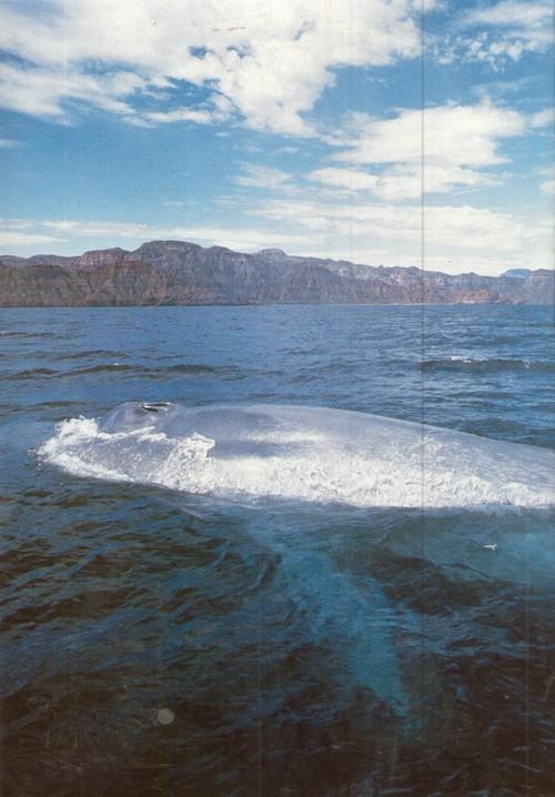 Эль-Вискаино. Синий кит считается крупнейшим видом животных, когда-либо обитавших на нашей планете. Средний размер синего кита — 24 м, он по крайней мере вдвое длиннее серого кита. Крупнейшие из синих китов могут достигать веса 130 тонн.