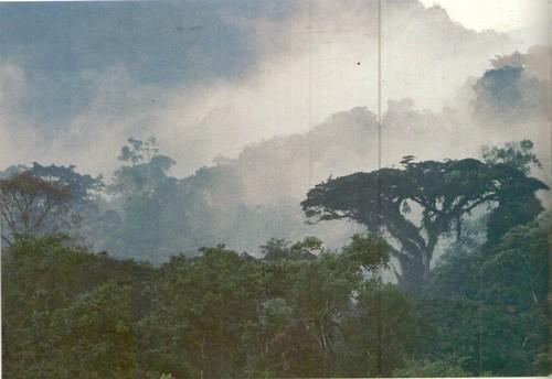 Бвинди. Вечнозеленые горные влажные леса занимают те ярусы, где не бывает мороза. Но развитие чем выше, тем прохладнее, и потому деревьев замедляется, они обычно остаются низкорослыми.